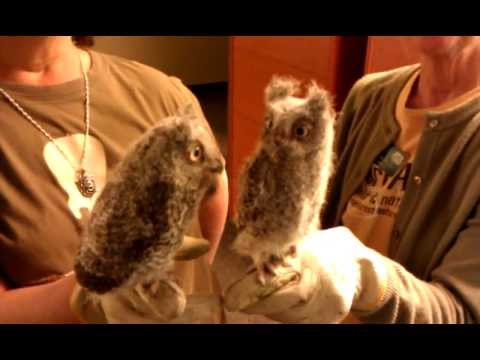 Super Cute Baby Screech Owls at Fontenelle Forest