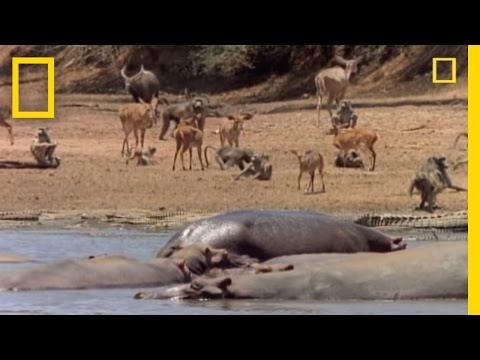 Watering Hole: When Crocs Attack | National Geographic