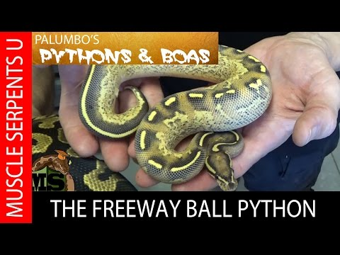 Freeway Ball Python Morphs at The Florida Reptile Ranch- Part 3