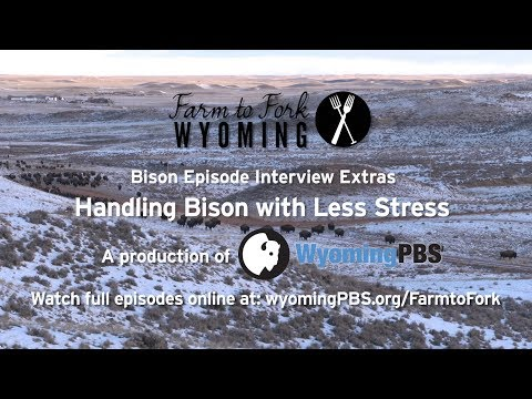 Handling Bison With Less Stress Bison Web Extra