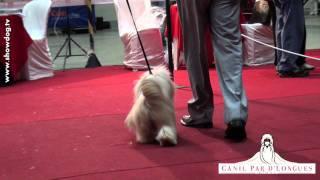 Show Dog Shih Tzu - Brum Abdalla`s The Bewitched Manchester Kc Set 2011