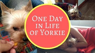 One Day in Life of Cute Yorkie Dog Mia