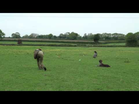 Training German Shorthaired Pointers steadiness on retrieving