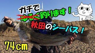 ゆるく釣ります! その30 ガチで釣ります! 秋田のシーバス!