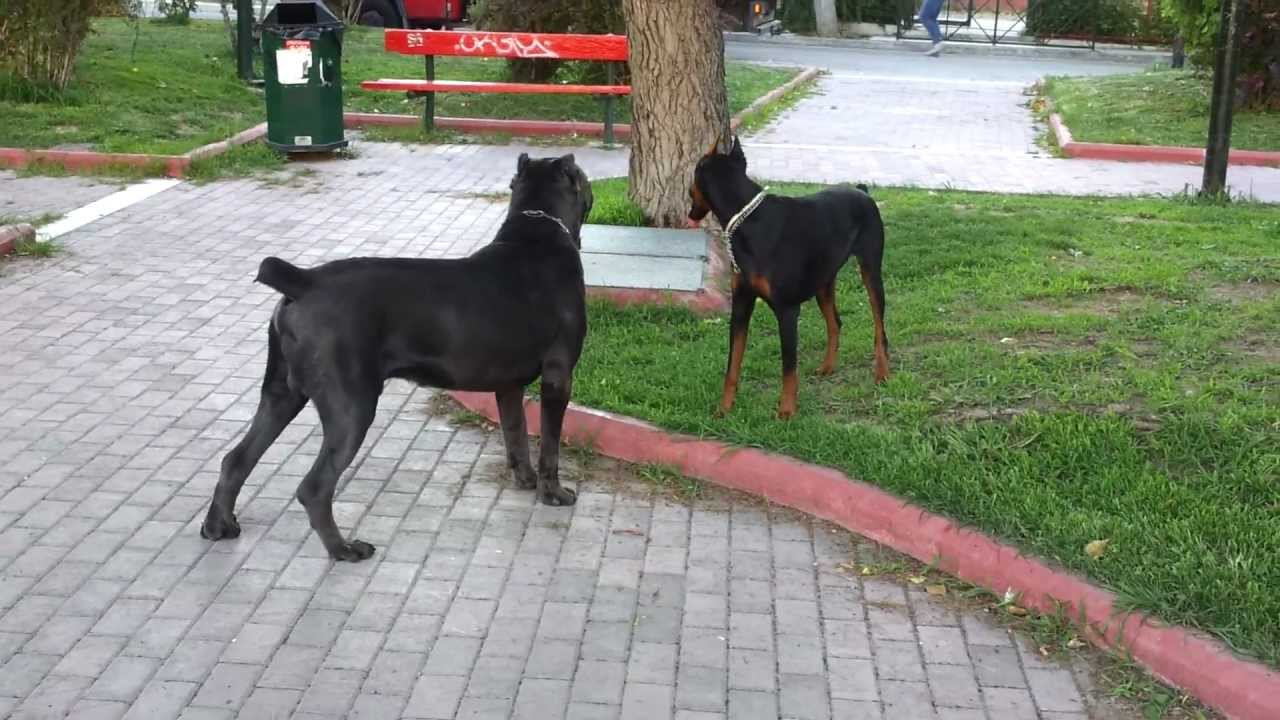 doberman frida playing with cane corso prince - YouTube