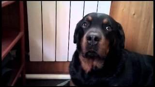 Чем кормить собаку?ВОСПИТАНИЕ И ДРЕССИРОВКА РОТВЕЙЛЕРА.