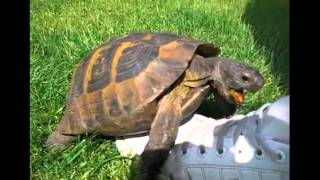 Turtle having sex with shoe (squeaking)