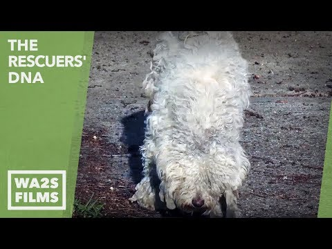 Blue Guardians Rescue Hungry Injured Poodle 6 Months on Street With Hope For Paws! The Rescuers' DNA