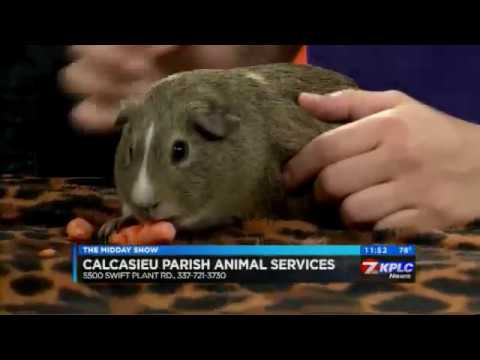RABBITS AND GUINEA PIGS AVAILABLE AT ANIMAL SERVICES