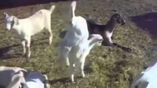 Эти забавные животные / Funny animals with russian songs
