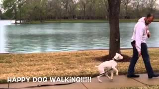 Puppy Boxer Deaf Learns To Walk off Leash | www.SitMeansSitHouston.com