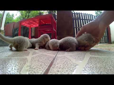 Jual binatang eksotik Otter