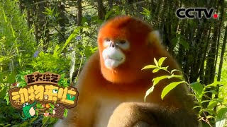 [正大综艺·动物来啦]金丝猴的朝天鼻便于?| CCTV