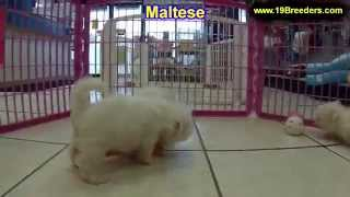 Maltese, Puppies, For, Sale, In, Baton Rouge, Louisiana, La, Minden, West Monroe, Luling, Crowley, R