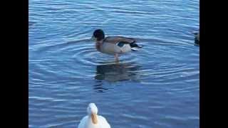 Mallards & Domestic Ducks