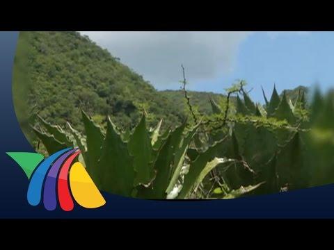 Mezcal de sabores, una bebida con tradición en Guerrero | Noticias de Guerrero