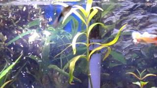 New Guppies In 20 Gal With Balloon Mollies And Platties