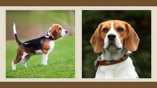 Beagle Kutya [fajtabemutató]