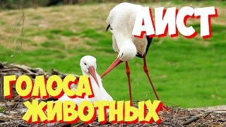 Голоса птиц и звуки животных. Звуки природы слушать онлайн АИСТ