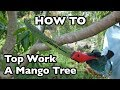 How to Top Work a Mango Tree- Part 1