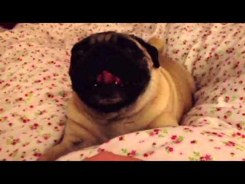 The Song of the Pug