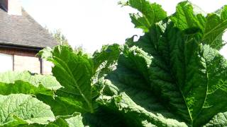 Gunnera  Watch July 2011