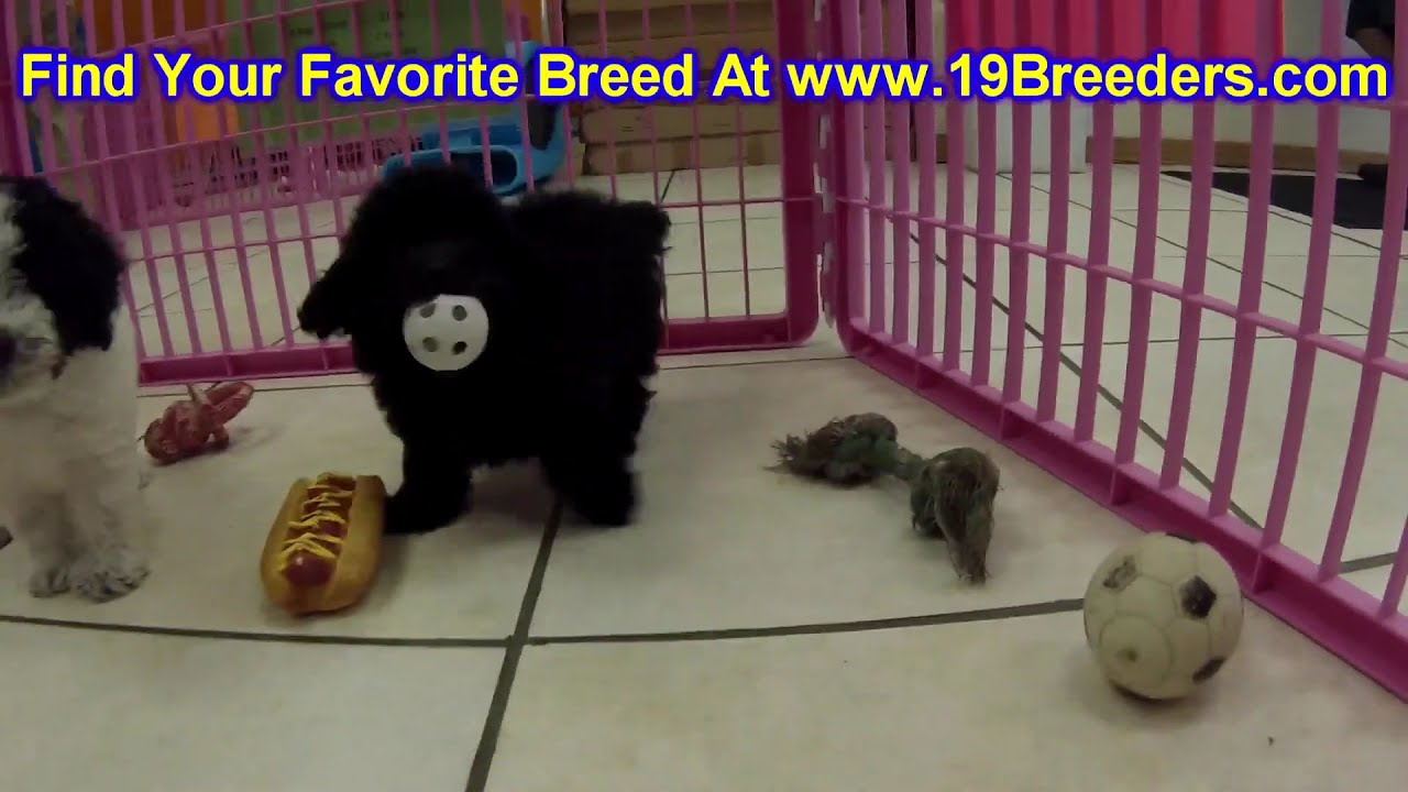 Toy Poodle, Puppies, Dogs, For Sale, In Norfolk, County ...