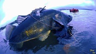 Поимка  Груперо-Судака. Подводная охота на подмосковных водохранилищах ,выпуск N 4