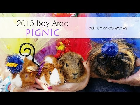 Guinea pigs at the 2015 Marin Bay Area Pignic