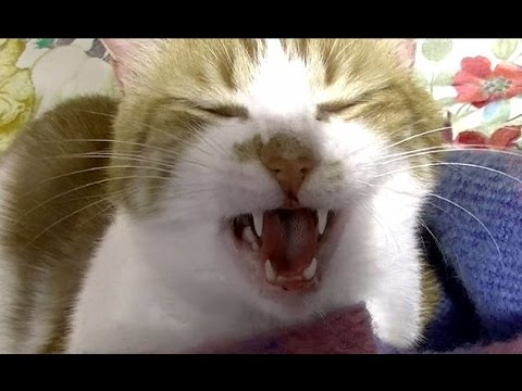 小声で喋ったら怒るように反応した猫が笑える♥♥猫との会話を楽しむ動画 Dialog with a cat