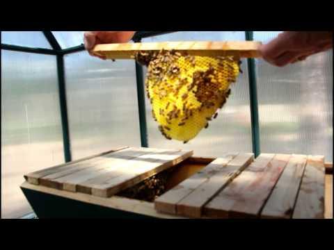 Backyard natural beekeeping – queen cage extraction