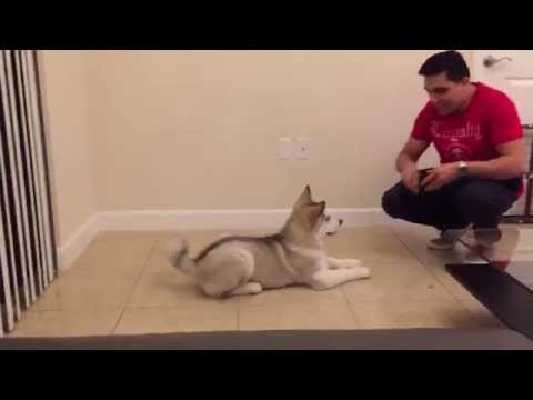Venus 13 weeks old Alaskan Malamute Training