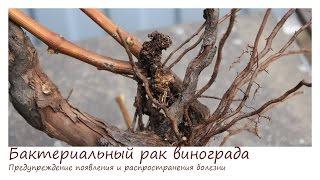 Бактериальный рак винограда часть 3. Предупреждение появления и распространения болезни.(Бактериальный рак винограда. Превентивные меры защиты от болезни. Препараты для защиты и лечения рака вино..., 2016-01-30T16:22:36.000Z)