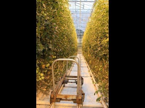 Fridheimar tomato greenhouse tour, Reykholt, Iceland