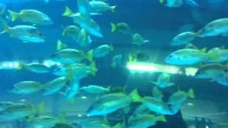 Аквариум в Дубай-мол, стеклянный туннель.(video-2010-11-27-16-46-37., 2010-12-08T09:32:23.000Z)