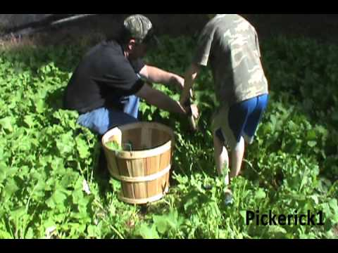 The Fast and Easy Way to  Pick  Turnip Greens