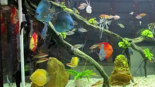 Домашний аквариум с дискусами и скаляриями от Mèo Lanh