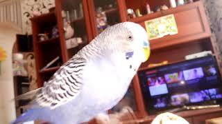 Попугай Арчик много говорит) Прикольное видео. Как разговаривает Волнистый попугай?