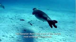 Save Our Hawaiian Monk Seals PSA
