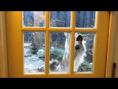 Silly cat!  Polydactyl Maine coon knocks on the patio door