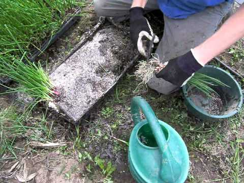Preparing to Transplant Onions into Plastic Mulch , Part 1