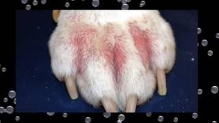 Perros hinchadas cara para benadryl