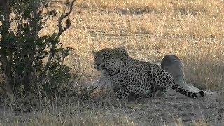 SafariLive June 23 - Leopard Hosana almost got an Impala...almost.  LOL