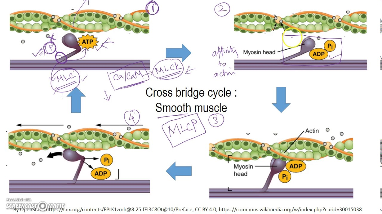 Latch Mechanism Smooth Muscle Simplified View Youtube