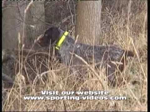 German wirehaired pointer hunting woodcock/pheasants