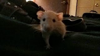"""Pasadena"" the pet rat comes when called, just like a puppy!"
