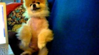 CUTEST TEACUP POMERANIAN!  The Dutch Munchkin Does His Dancing Trick For The Camera (2010)