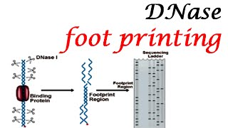 DNase footprinting