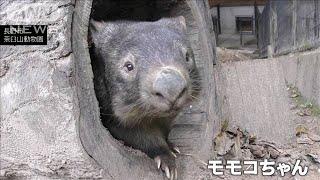"""飼育員さん大好きウォンバット""""95歳""""の甘えん坊(2021年1月1日) - YouTube"""