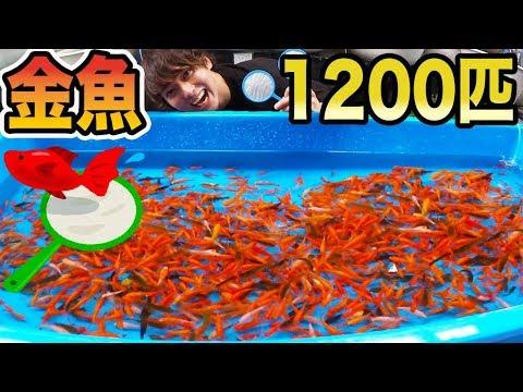 金魚1200匹�本気�金魚���対決�������